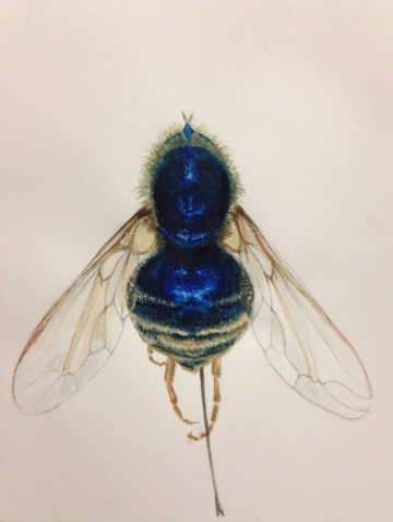 Willow Moseley Phorid Fly