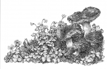 Russula Californiensis